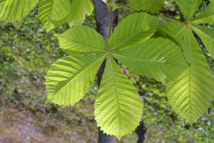 lechenie-papillom-listyami-kashtana