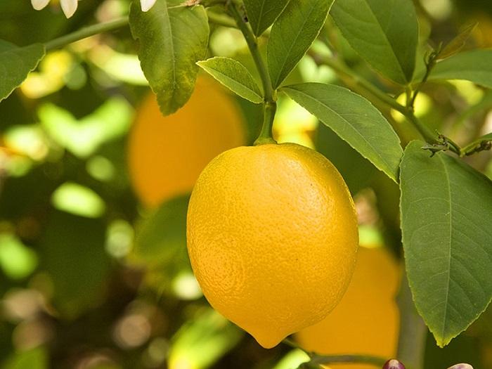 limonotbor