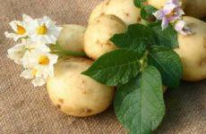 Как удалить, избавиться от бородавок с помощью сырой картошки или ее сока: народные средства лечения